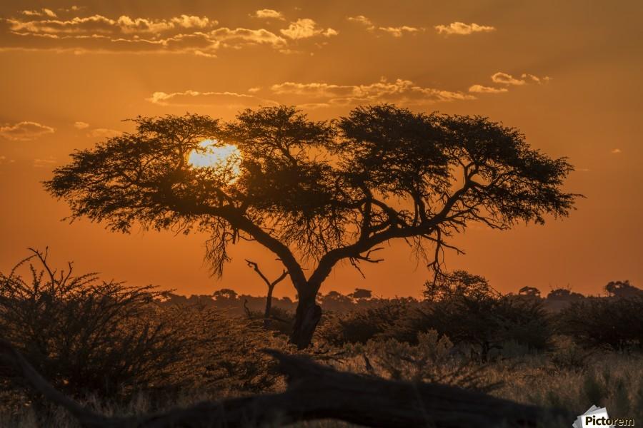 Silhouette of acacia tree at orange sunset; Botswana  Print