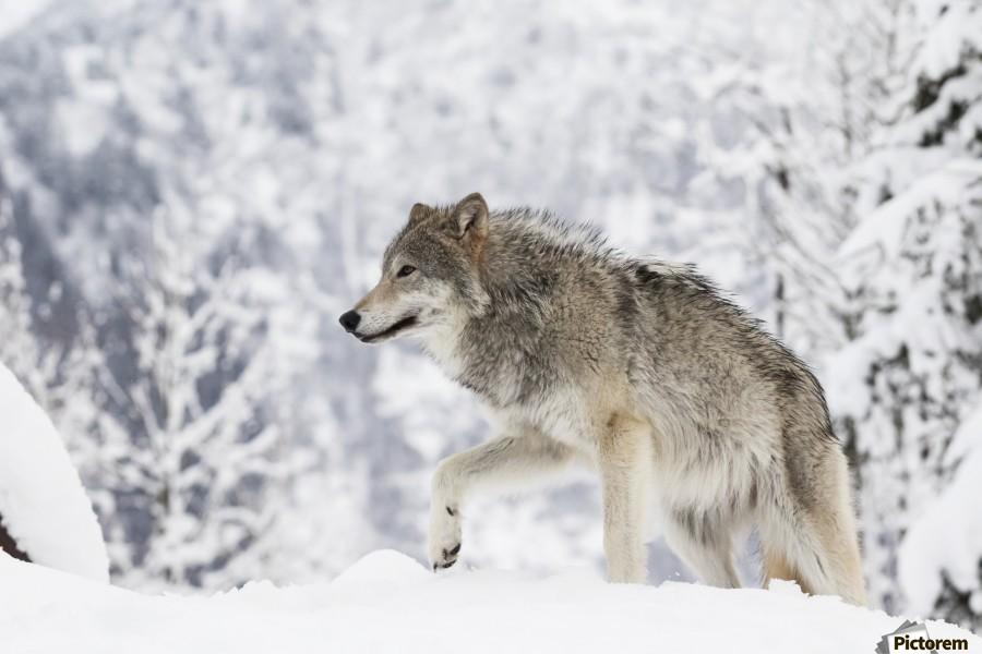 CAPTIVE: Female Tundra Wolf in snow, Alaska Wildlife ...
