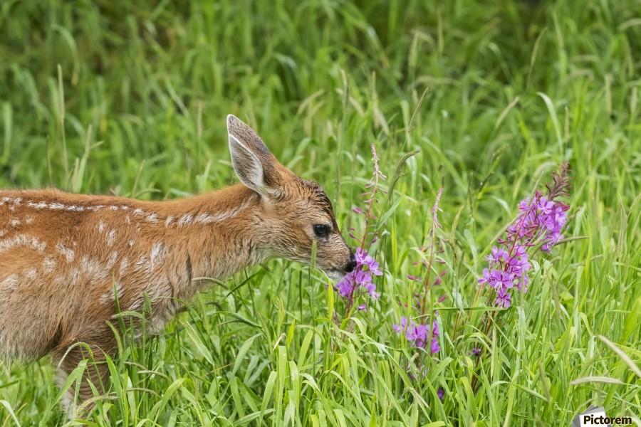 Sitka Black-tailed deer fawn (Odocoileus hemionus sitkensis) munches on fireweed (Chamerion angustifolium) in pasture, captive animal at the Alaska Wildlife Conservation Centre; Portage, Alaska, United States of America  Print