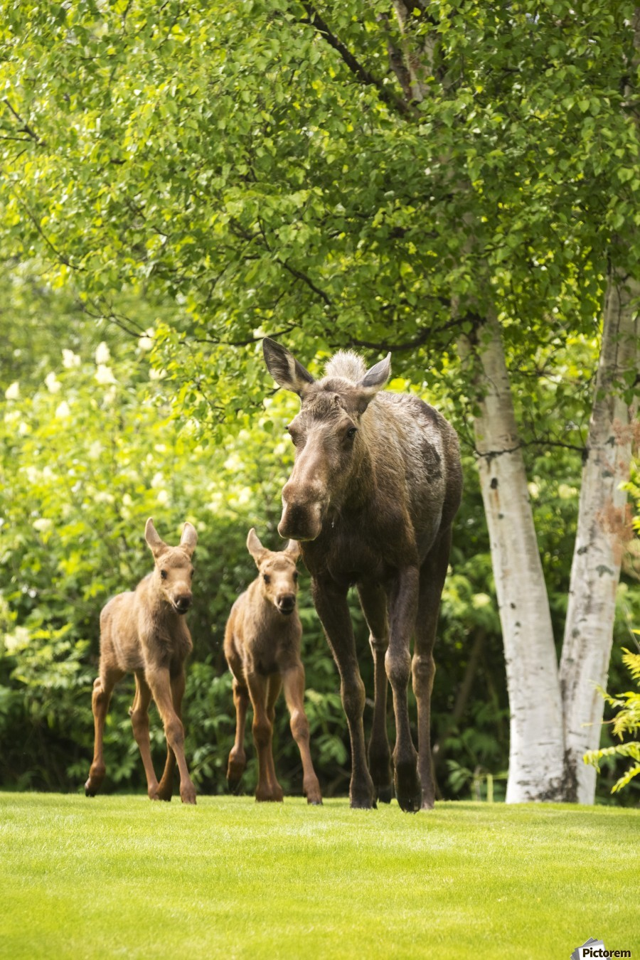 A cow moose (alces alces) with her calves on green grass with lush green foliage; Anchorage, Alaska, United States of America  Print