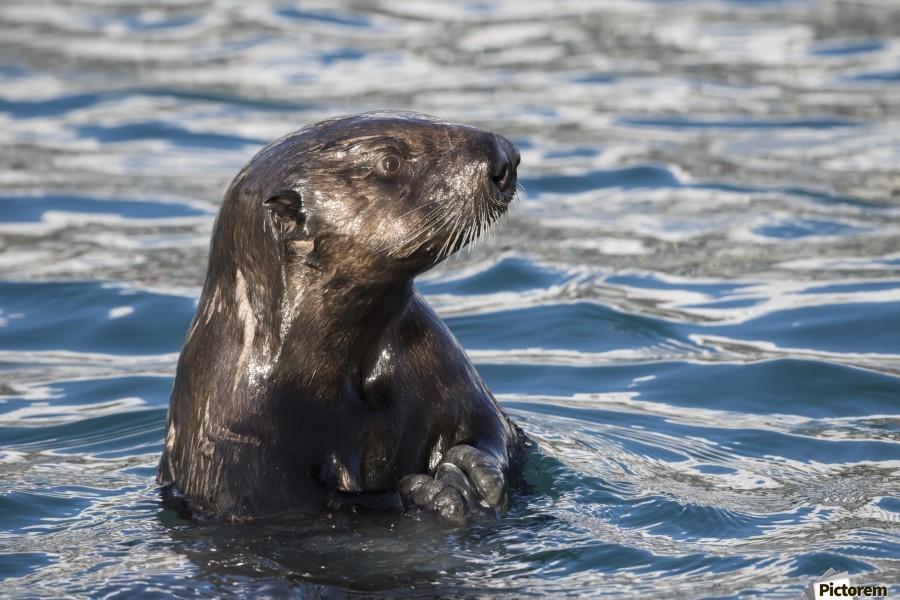 Sea Otter (Enhydra lutris) swims in Resurrection Bay near Seward small boat harbour in south-central Alaska; Seward, Alaska, United States of America  Print