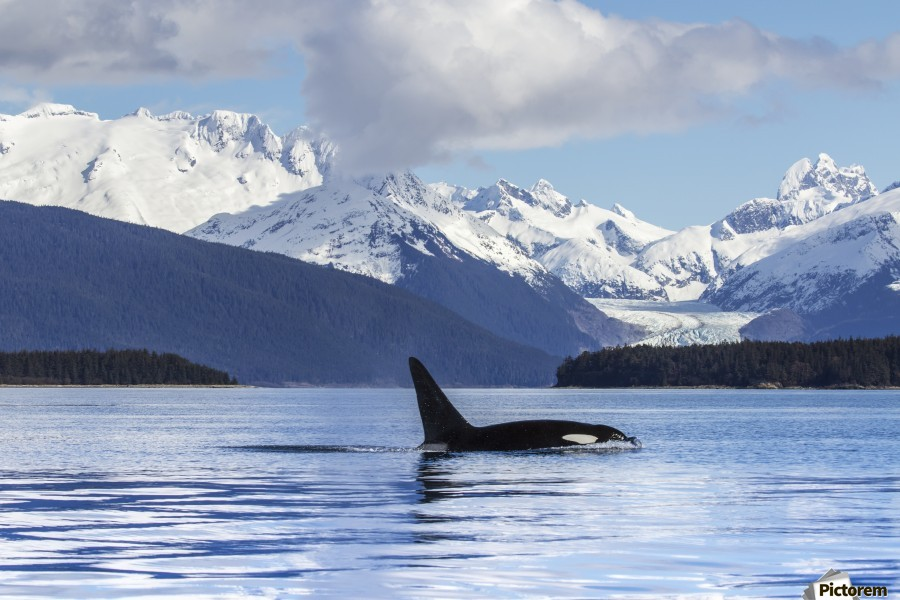An Orca Whale (Killer Whale) (Orcinus orca) surfaces in Lynn Canal, Herbert Glacier, Inside Passage; Alaska, United States of America  Imprimer