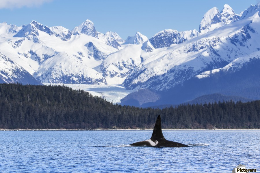 An Orca Whale (Killer Whale) (Orcinus orca), male as indicated by the height of it's dorsal fin, surfaces in Lynn Canal, Herbert Glacier, Inside Passage; Alaska, United States of America  Print