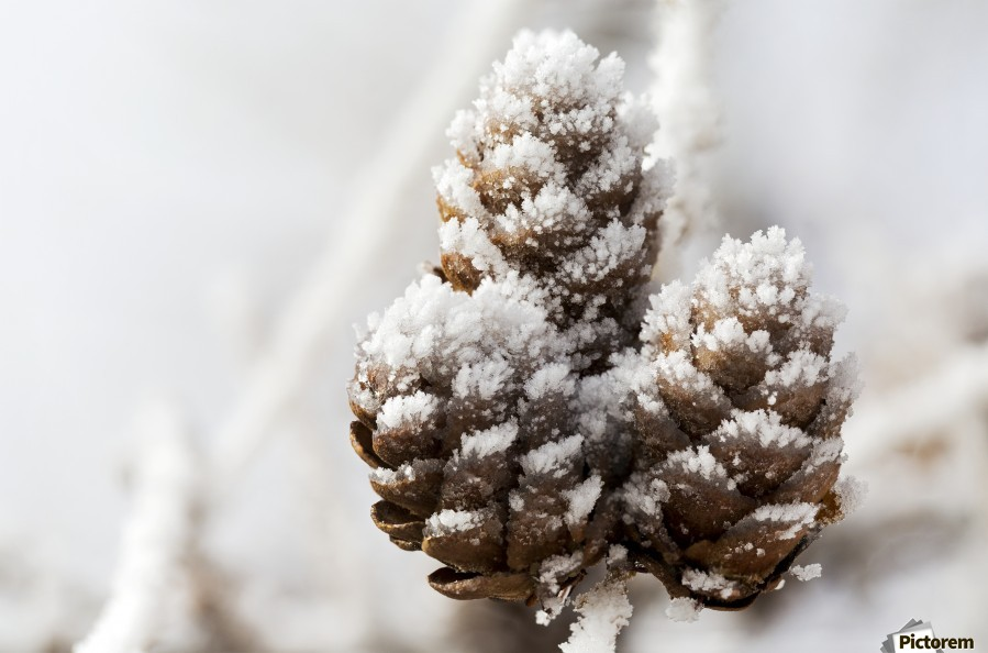 Close up of frosted pine cones; Calgary, Alberta, Canada  Print