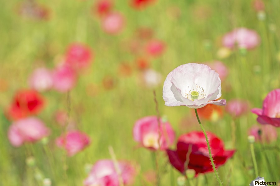 Poppies in a meadow; Burnaby, British Columbia, Canada  Print