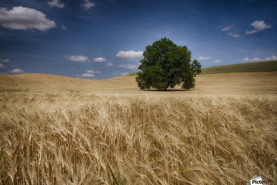 Lone tree in a wheat field; Palouse, Washington, United States of America  Print