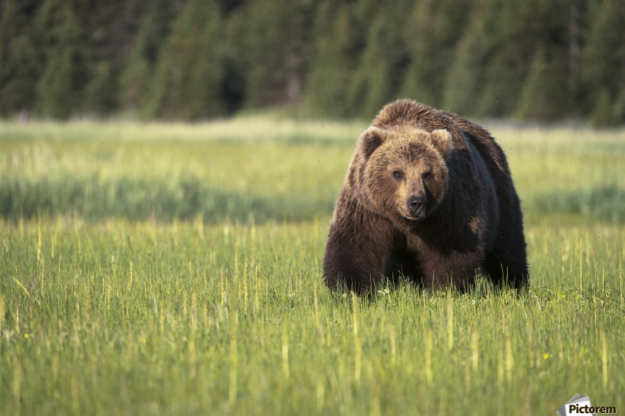 Brown bear (ursus arctos) in Lake Clark National Park; Alaska, United States of America  Print