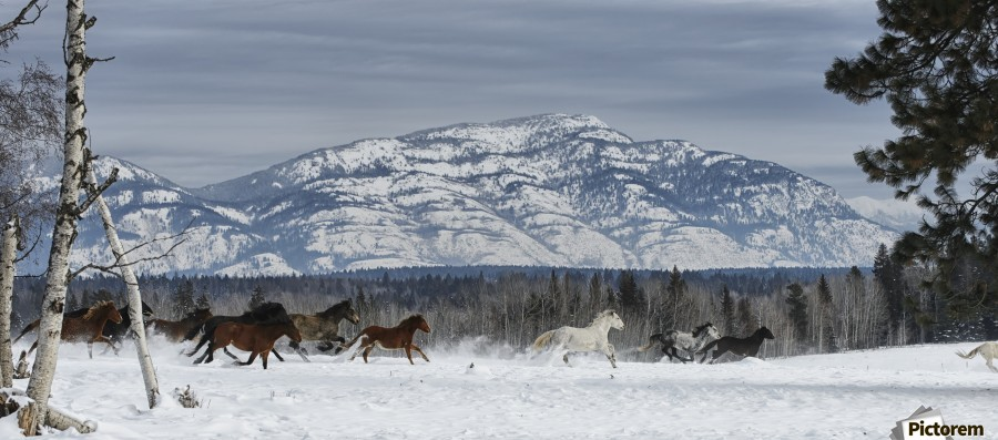 Horses running in the snow on a ranch in winter; Montana, United States of America  Print