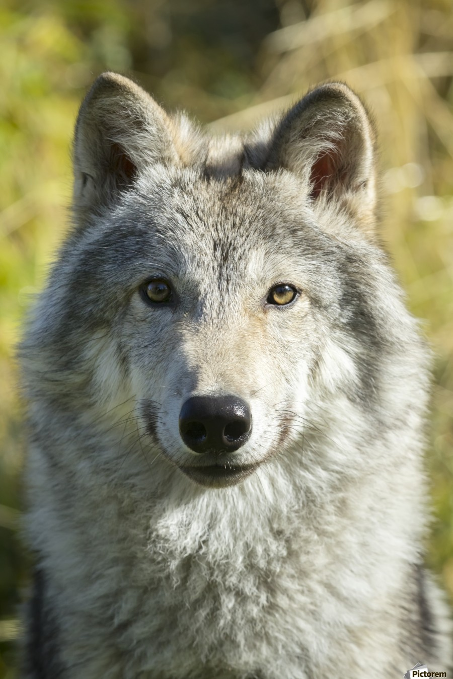 Portrait Of A Female Gray Wolf Canis Lupus Captive Alaska
