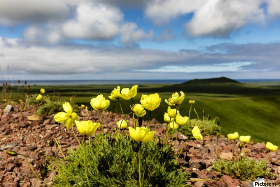 Arctic poppy (Papaver radicatum) grows from the volcanic soil of St. Paul Island in the Pribilofs in Southwest Alaska; St. Paul Island, Pribilof Islands, Alaska, United States of America  Print