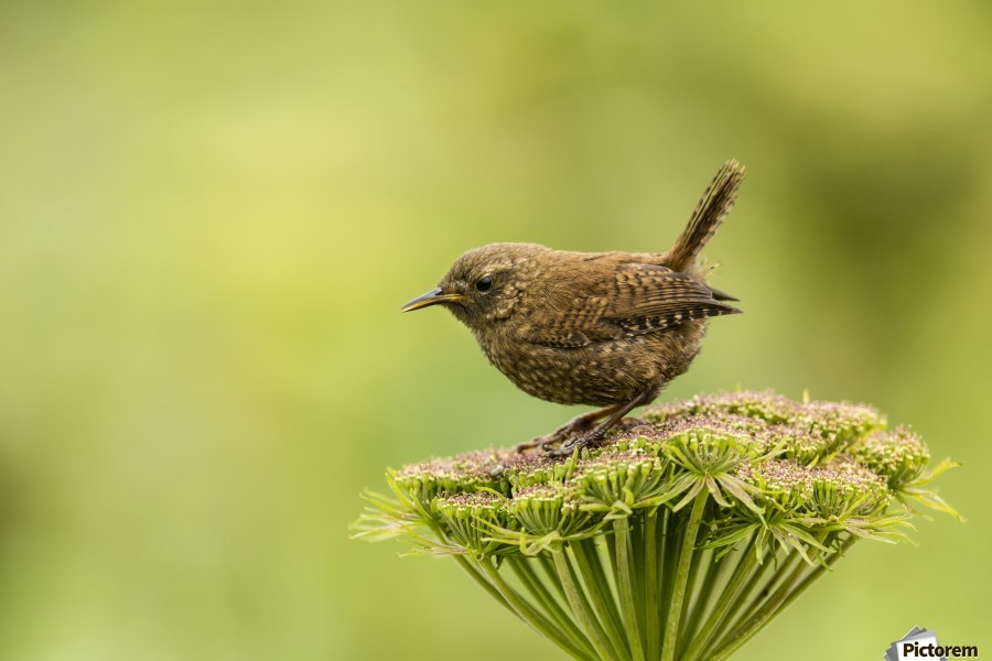 Pacific wren (Troglodytes pacificus) perched on wild celery on St. Paul Island in Southwest Alaska; St. Paul Island, Pribilof Islands, Alaska, United States of America  Print