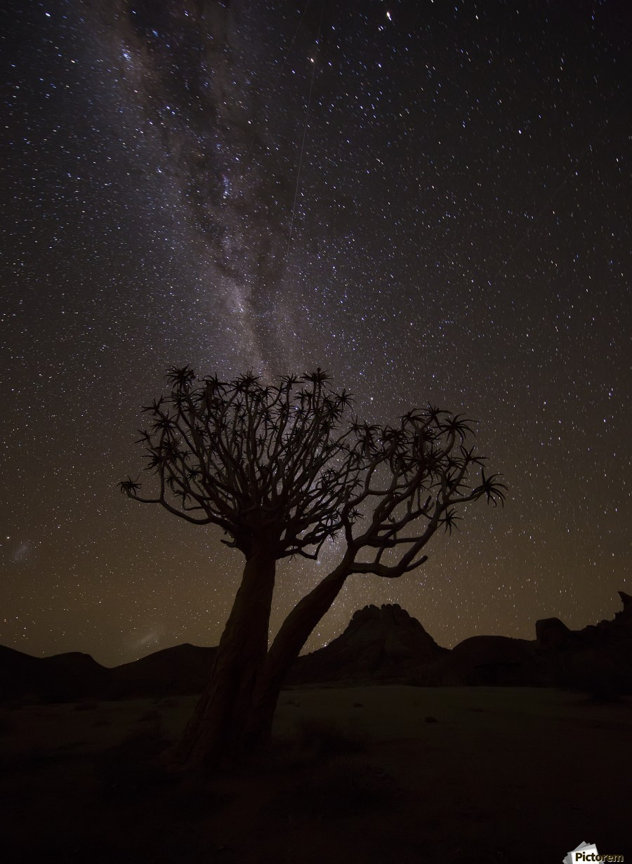 The milky way slashes across the night sky above a quiver tree (kokerboom, aloe dichotoma) in Richtersveld National Park; South Africa  Print