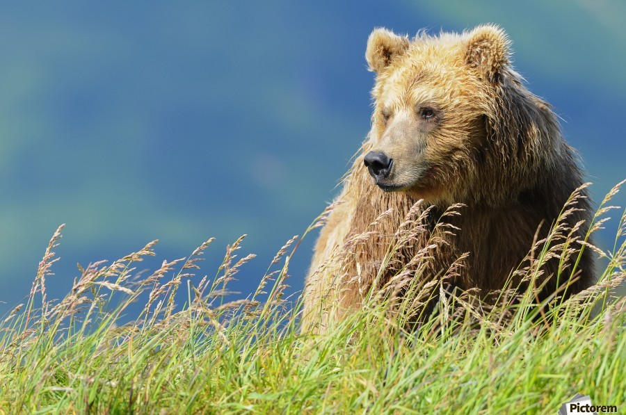 Portrait of a brown bear (portrait), Katmai National Park; Alaska, United States of America  Print