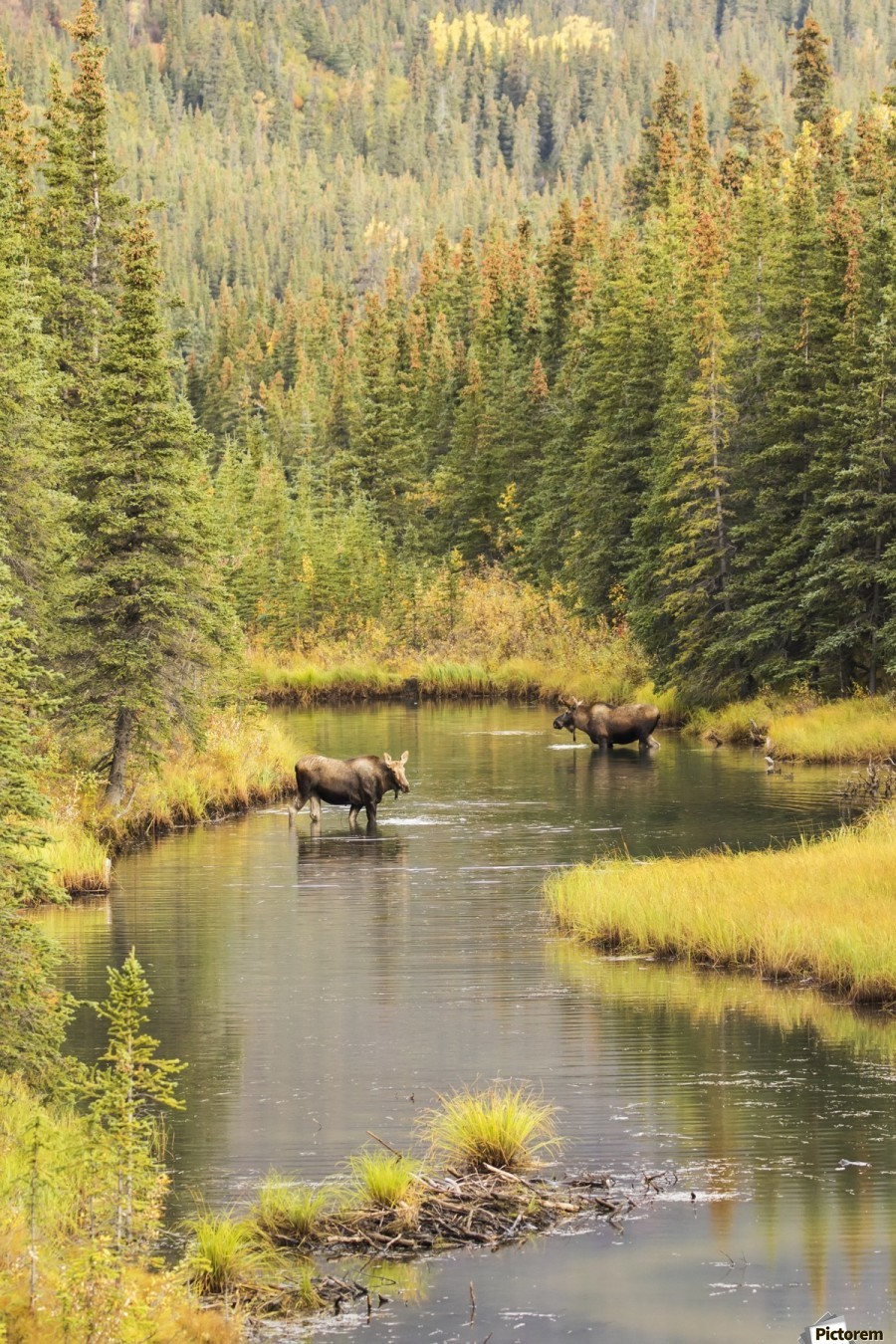 Bull and cow moose (alces alces) feeding in a shallow pond south of Cantwell, photo taken from Parks Highway common moose habitat; Alaska, United States of America  Print