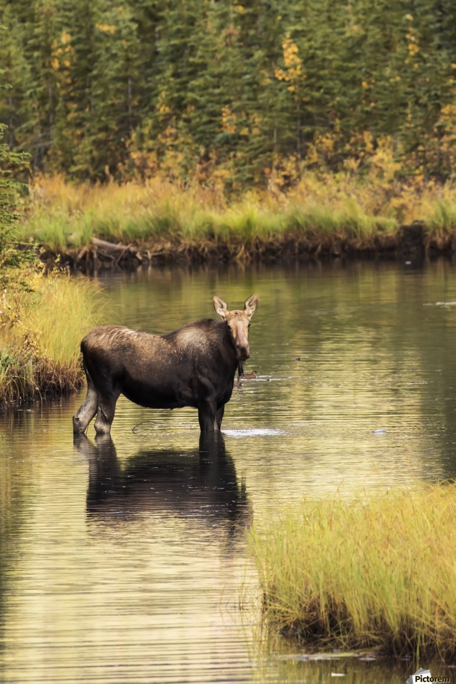 Moose (alces alces) feeding in a shallow pond south of Cantwell, photo taken from Parks Highway common moose habitat; Alaska, United States of America  Print