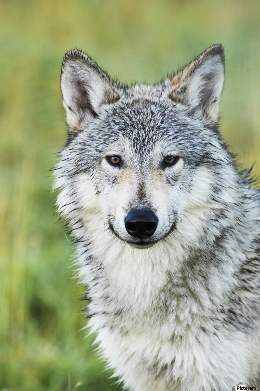 Immature female wolf (canis lupus), captive at the Alaska Wildlife Conservation Center, South-central Alaska; Portage, Alaska, United States of America  Print