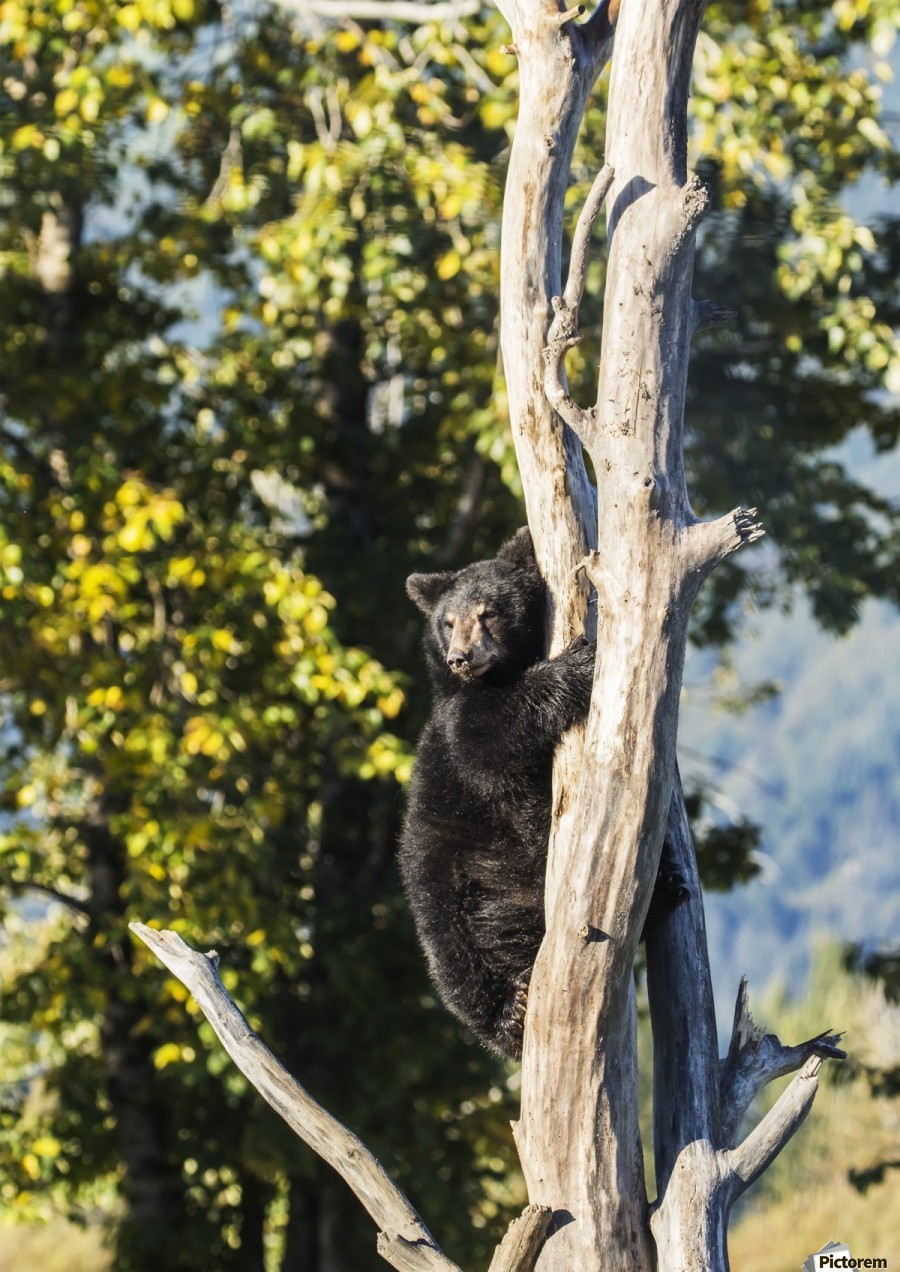 Black bear cub (ursus americanus) climbing a tree, Alaska Wildlife Conservation Center, South-central Alaska; Portage, Alaska, United States of America  Print