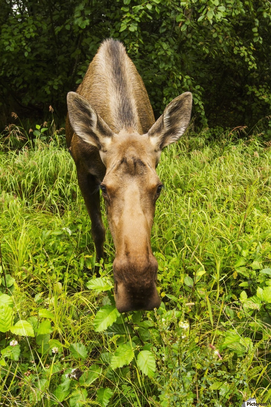 Cow moose (alces alces), close up with a wide angle lense, south-central Alaska; Alaska, United States of America  Print