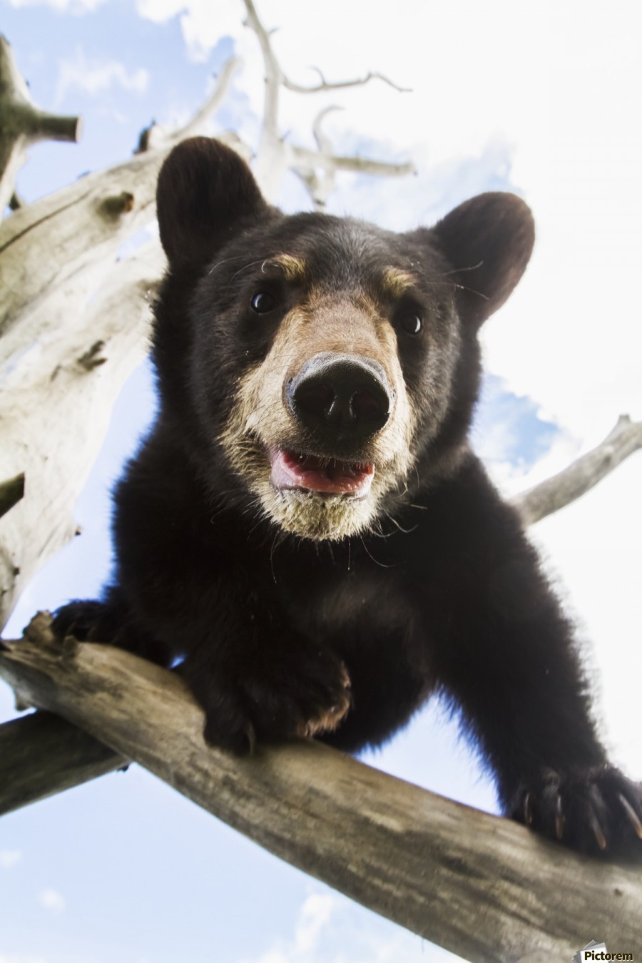 Black bear cub (ursus americanus), captive in Alaska Wildlife Conservation Center, South-central Alaska; Portage, Alaska, United States of America  Print