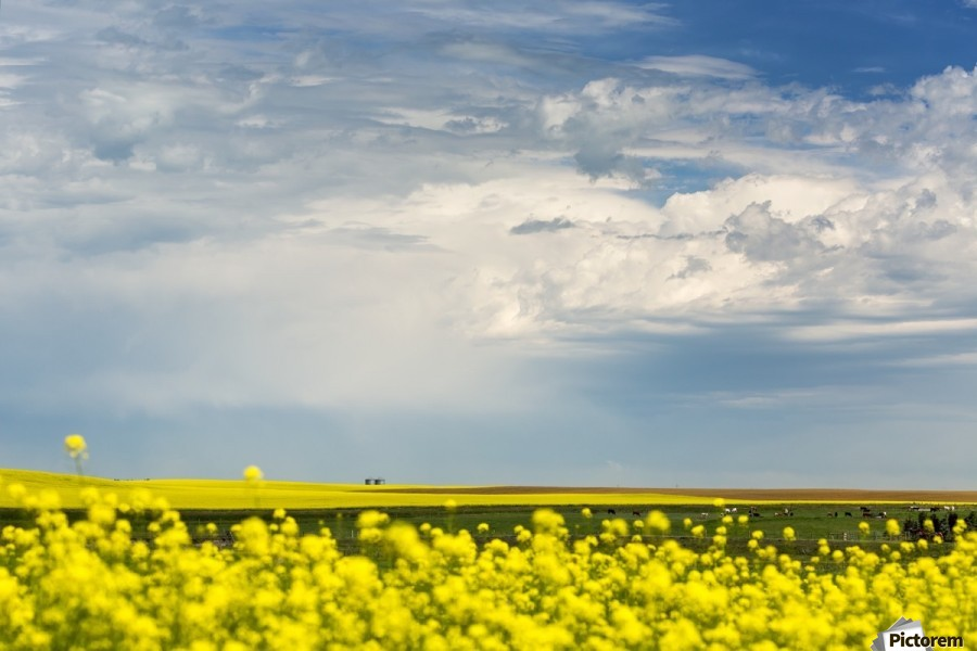 Flowering canola field with dark storm clouds and cattle grazing; Nanton, Alberta, Canada  Print