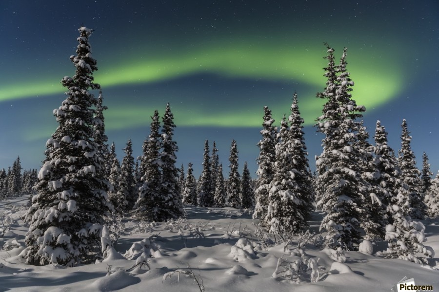 Green Aurora Borealis dances over the tops of snow covered black spruce trees, moonlight casting shadows on a clear winter night, interior Alaska; Gakona, Alaska, United States of America  Print