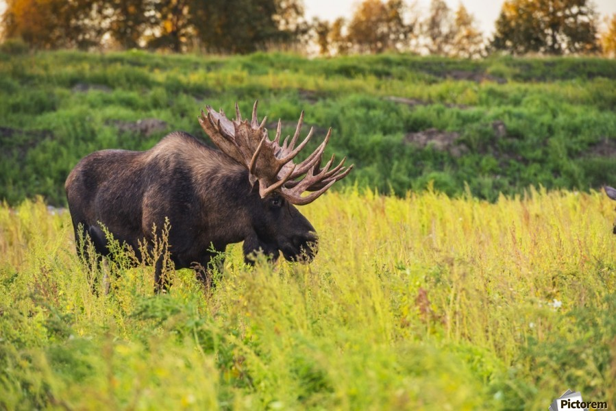 The large bull moose Known as