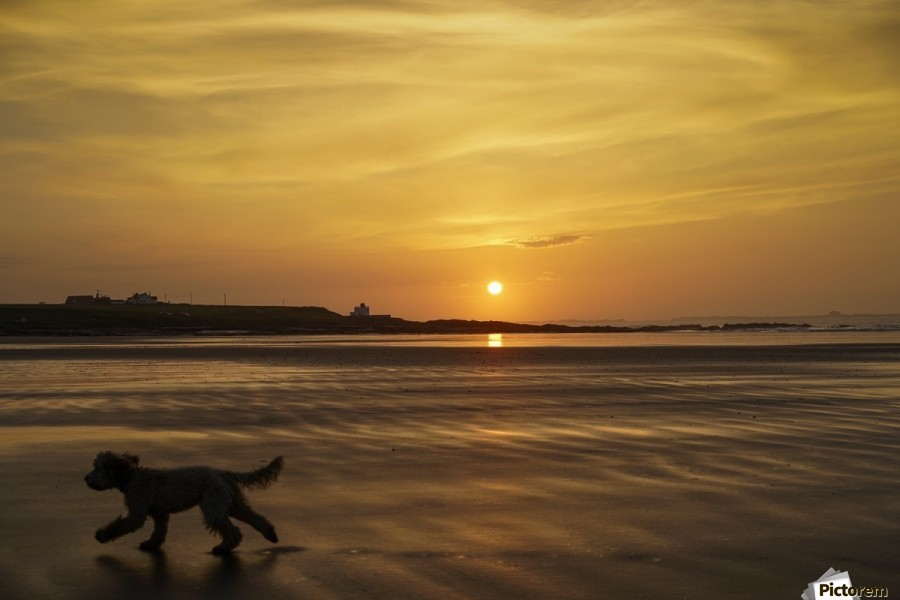 A dog runs across a wet beach with the golden sun setting in an orange sky along the coast and Bamburgh Castle in the distance; Bamburgh, Northumberland, England  Print