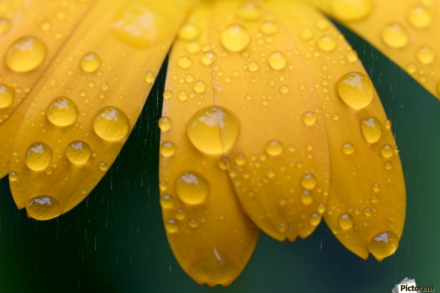 Close up of water droplets on yellow flower petals; South Shields, Tyne and Wear, England  Print