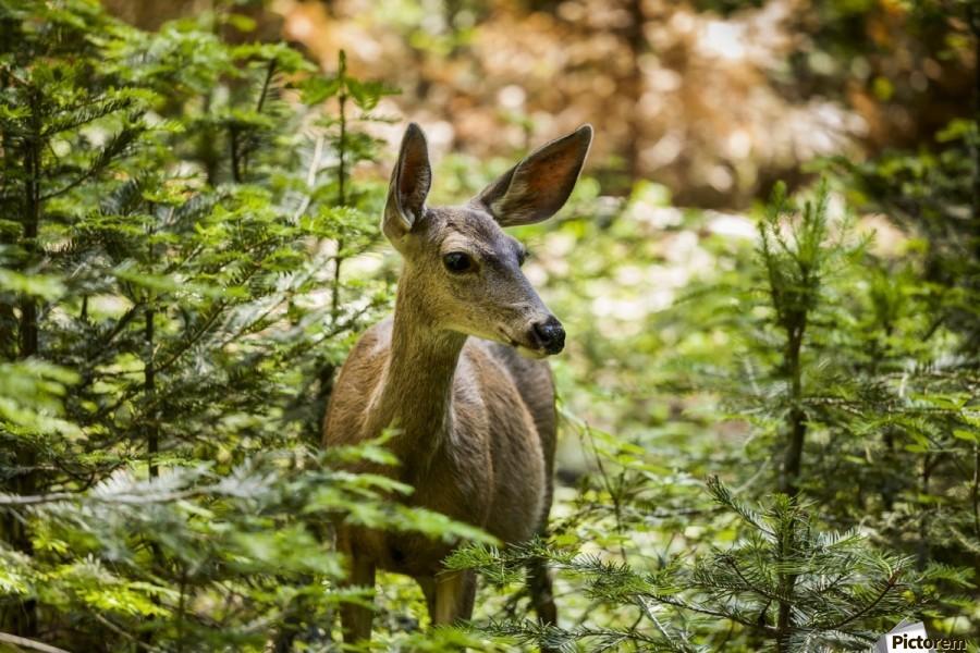 Mule deer (Odocoileus hemionus), Sequoia National Park; California, United States of America  Print