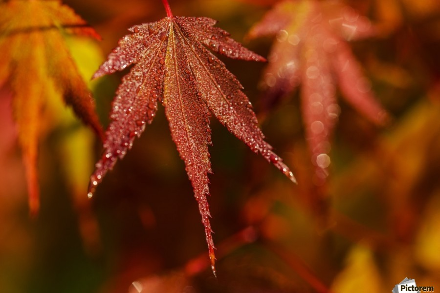 Japanese Maple (Acer palmatum) turning red in the autumn; Astoria, Oregon, United States of America  Print