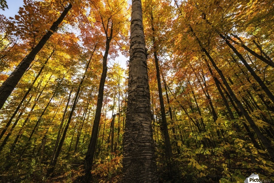 Looking up at the colourful canopy of leaves of Algonquin Park; Ontario, Canada  Print