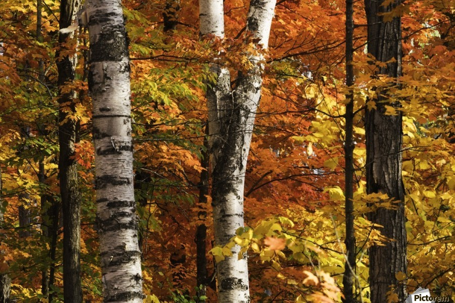 The colourful leaves and birch tree trunks in Algonquin Park; Ontario, Canada  Print