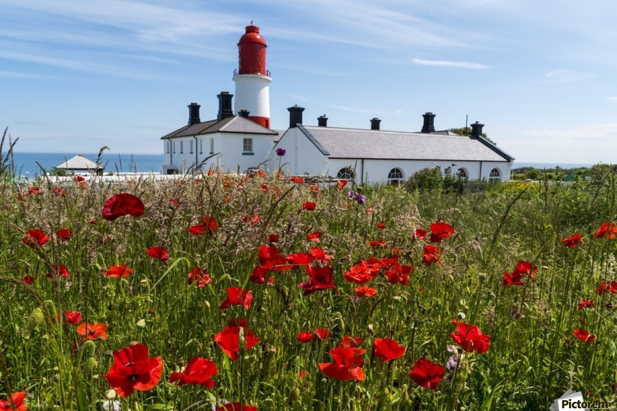 Souter Lighthouse with a field of red poppies in the foreground; South Shields, Tyne and Wear, England  Print