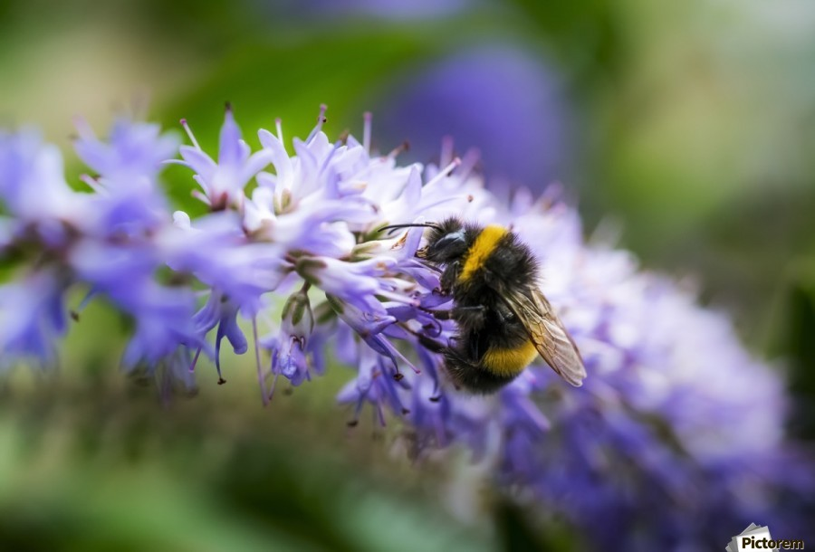 A bee resting on a purple flower; South Shields, Tyne and Wear, England  Print