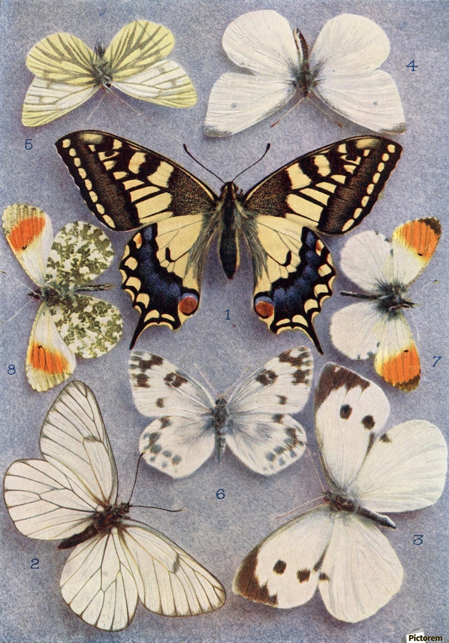 Different types of butterflies. Illustration by W.S.Furneaux. From the book Butterflies, Moths and Other Insects and Creatures of the Countryside. Published 1927.  Print