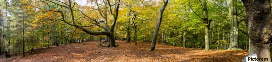 Panorama of a forest in autumn colours; Surrey, England  Print