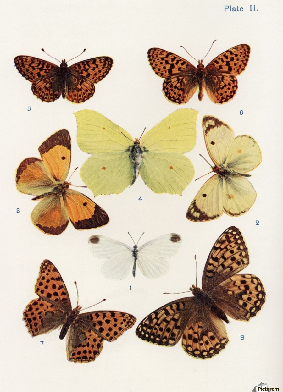 Different types of butterflies. Illustration by W.S.Furneaux. From ...