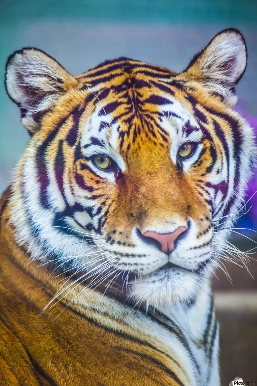 Portrait of Bengal Tiger (panthera tigris tigris) endangered species, captive; Chippewa Falls, Wisconsin, United States of America  Print