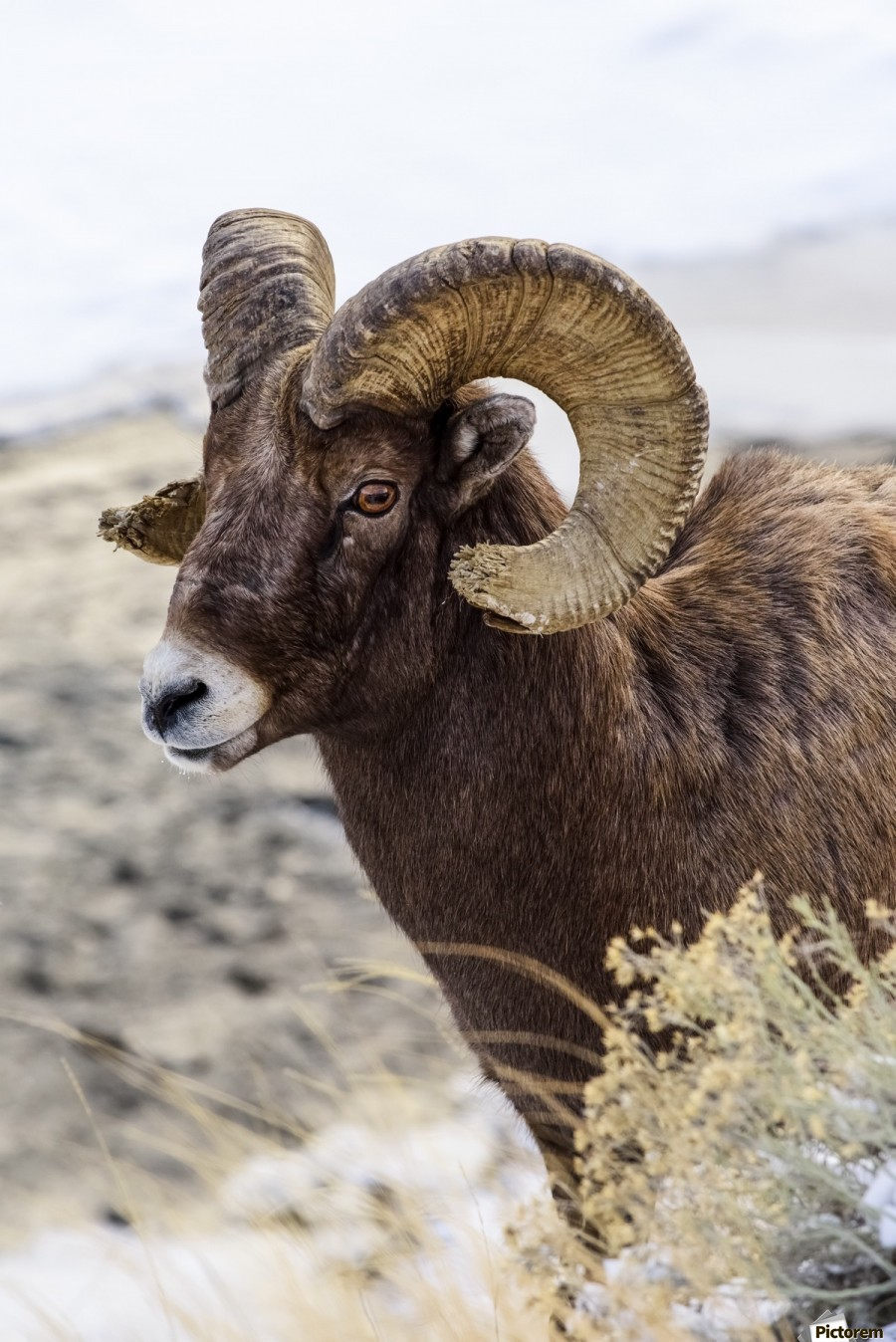 Close up of Bighorn ram (ovis canadensis) with broomed (splintered) horn tips resulting from butting heads with other rams, Shoshone National Forest; Wyoming, United States of America  Print