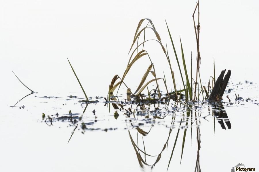 Grass grows in Coffenbury Lake; Hammond, Oregon, United States of America  Print