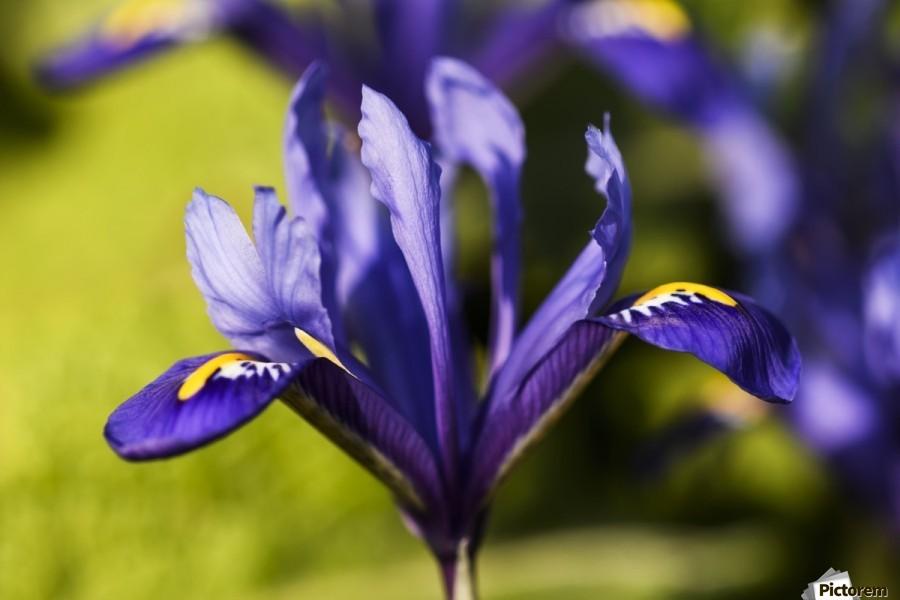 Dwarf Iris blooms in February; Oregon, United States of America  Print