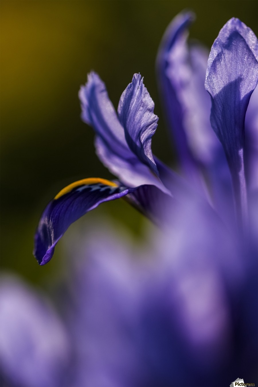 The Dwarf Iris Is One Of The First Flowers To Bloom In The Spring