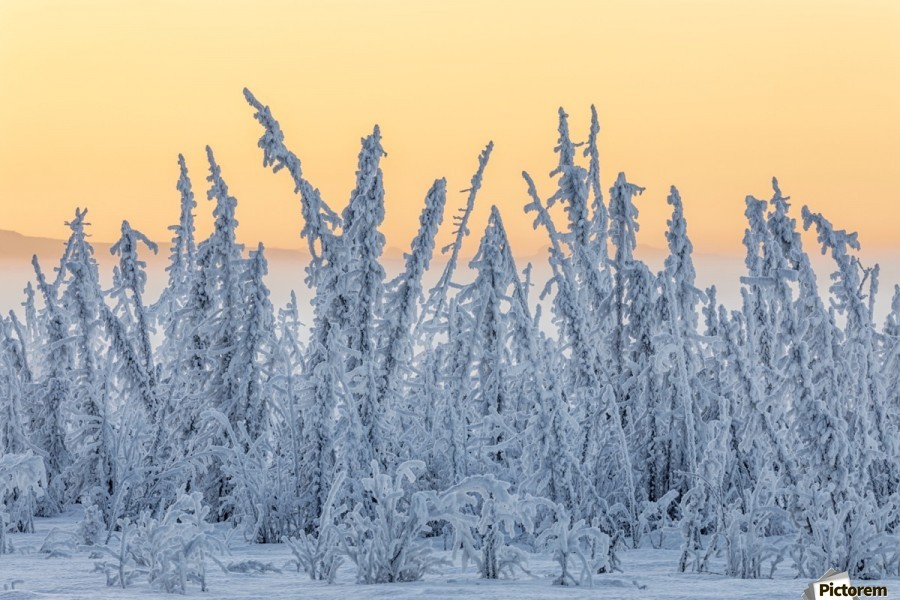 Hoarfrost covers black spruce trees as ground fog and dusk descend on Palmer Hay Flats in South-central Alaska in winter; Alaska, United States of America  Print
