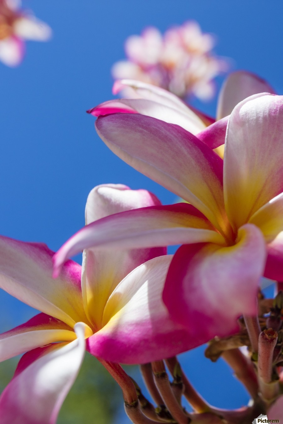Close Up Of Pink Plumeria Flowers And Blue Sky Lanai Hawaii