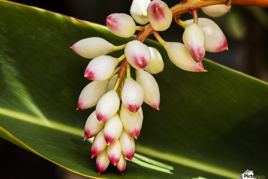 Close-up of white ginger flower Alpinia; Maui, Hawaii, United States of America  Print