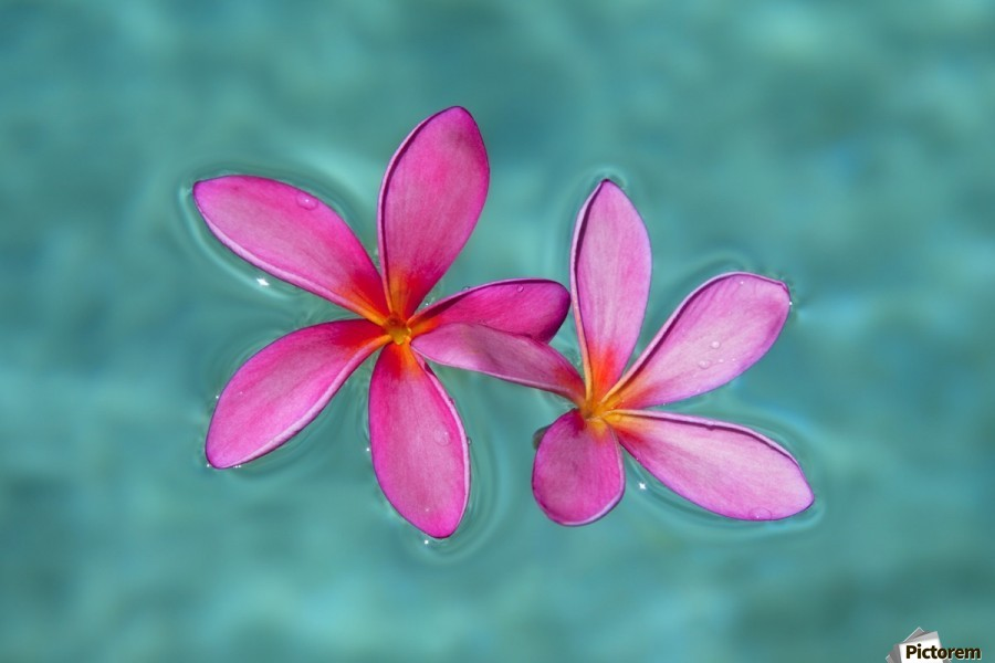 Close up of pink plumeria flowers in water maui hawaii united canvas print mightylinksfo