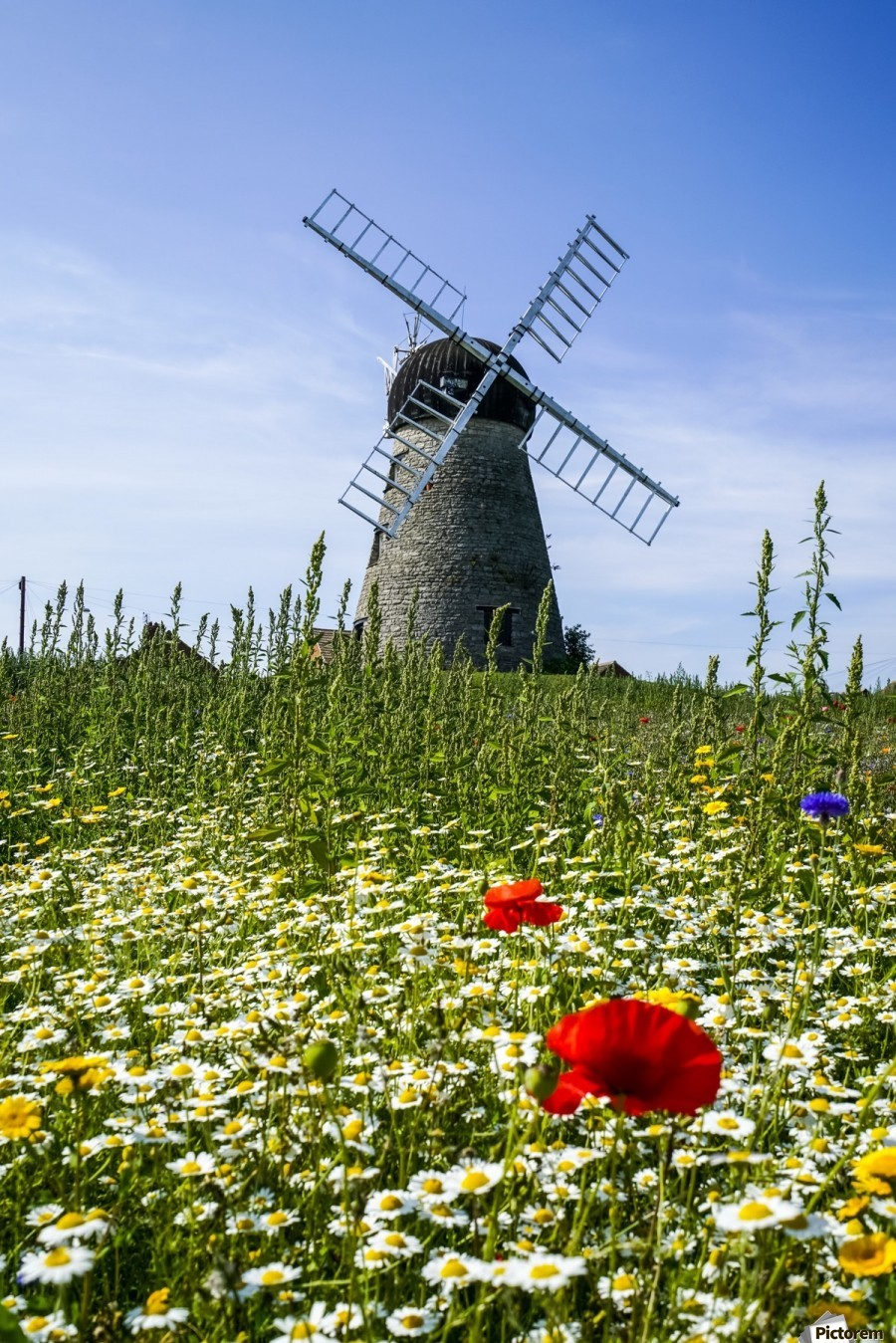 A windmill against a blue sky and cloud with a field of wildflowers in the foreground; Whitburn, Tyne and Wear, England  Print