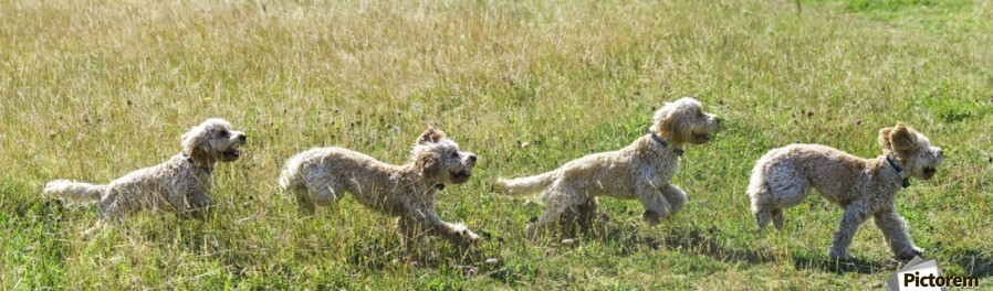 Composite of a blond cockapoo running across a grass field; South Shields, Tyne and Wear, England  Print