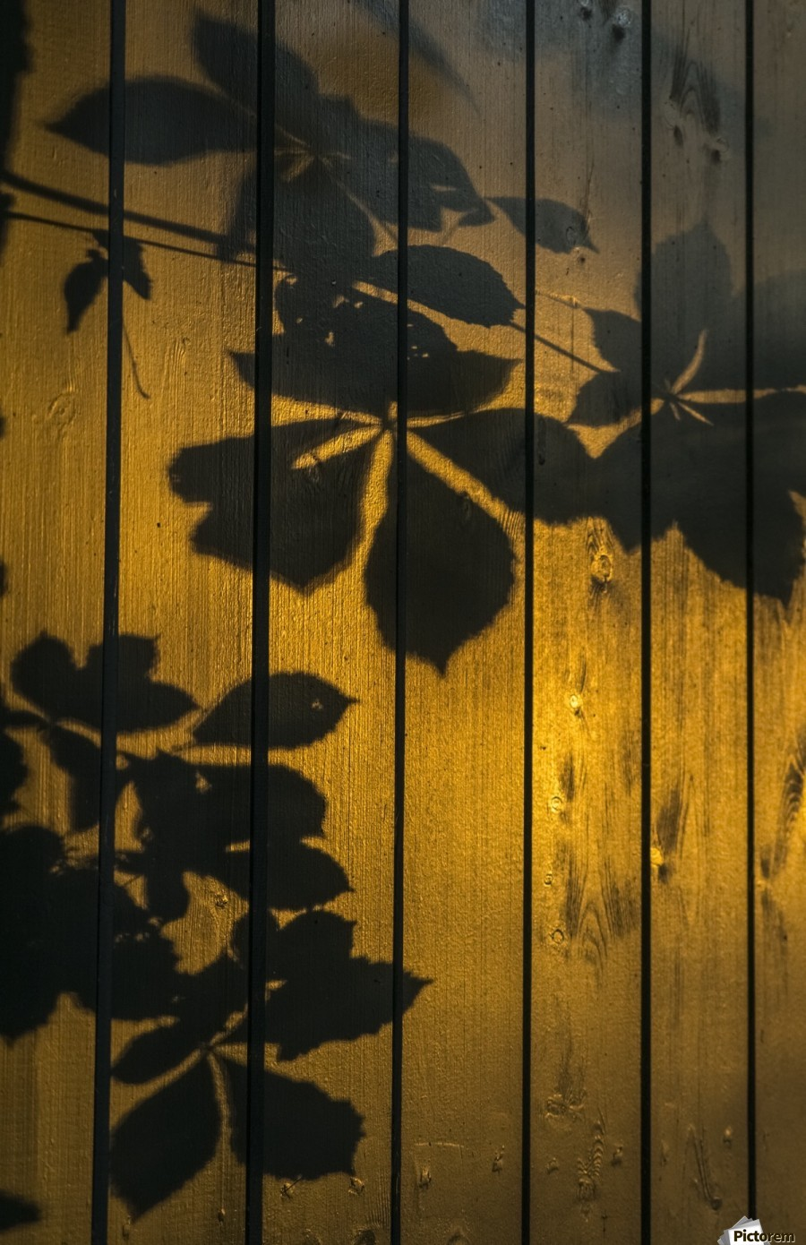 Shadows of tree branches and leaves cast on a wooden fence; Gateshead, Tyne and Wear, England  Print