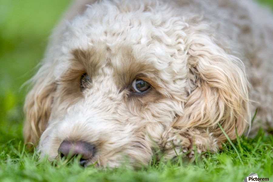 Close-up of the face of a blond cockapoo resting on the grass; North Yorkshire, England  Print